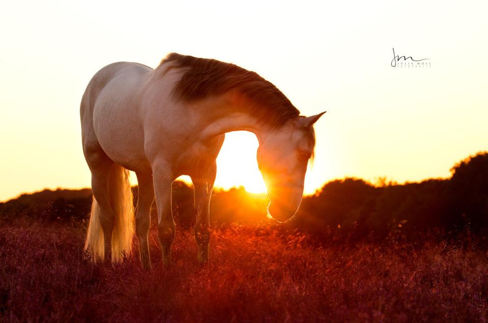 Andalusier Schimmel im Sonnenuntergang in der Lüneburger Heide