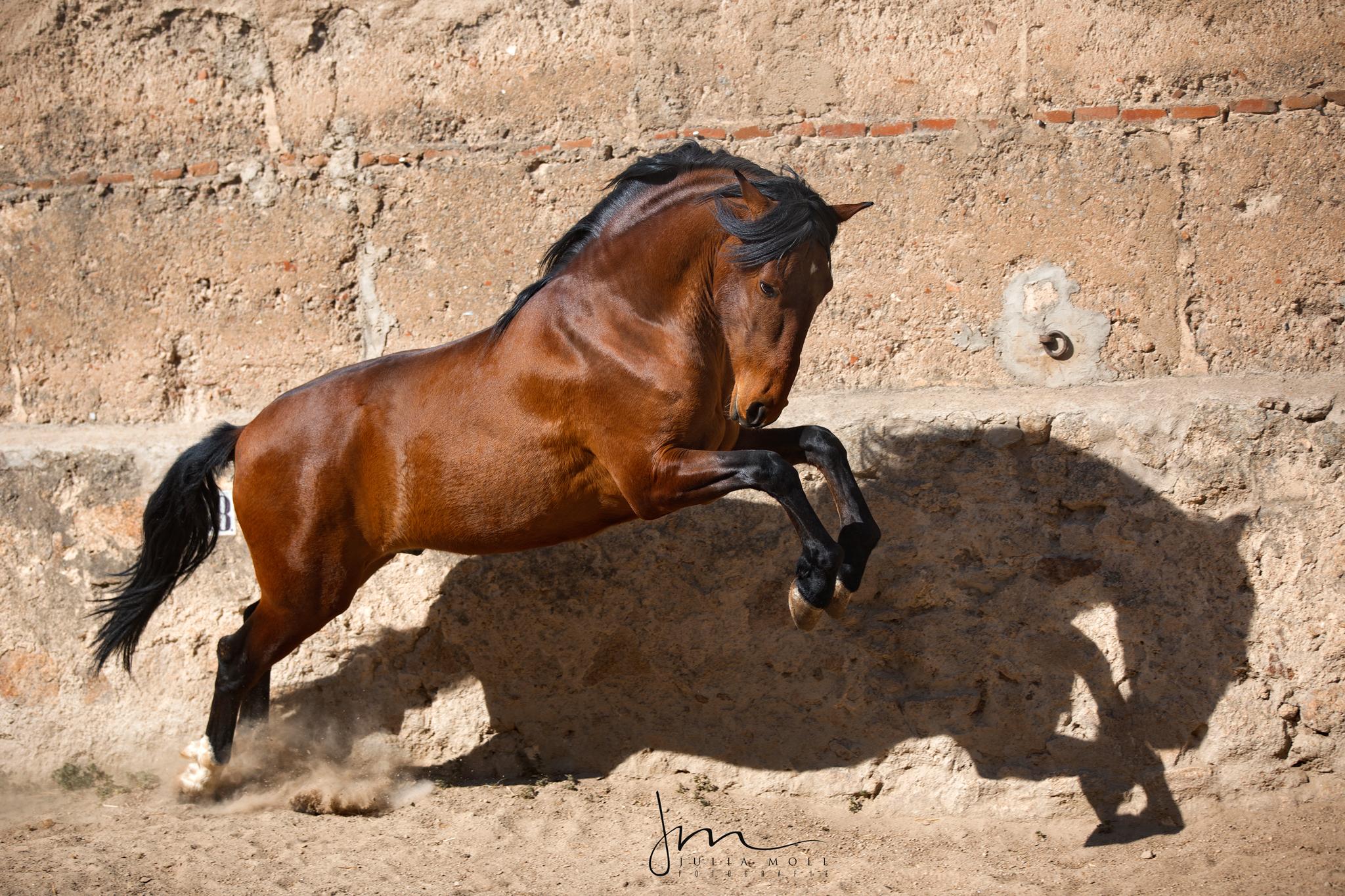 Brauner Pura Raza Española mit seinem Schatten spielend vor rustikaler Steinwand