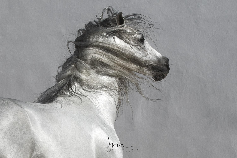 Weißes Pferd mit wallender Mähne Julia Moll Pferdefotografie