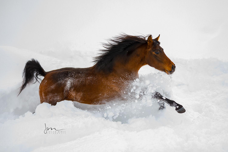 Junger Hengst galoppiert durch den frischen Schnee