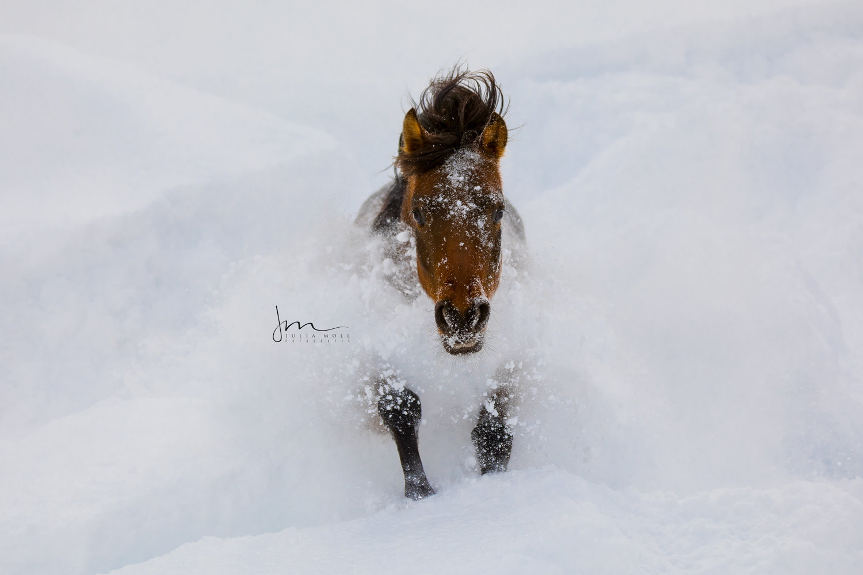 Pferd tobt durch den tiefen Schnee