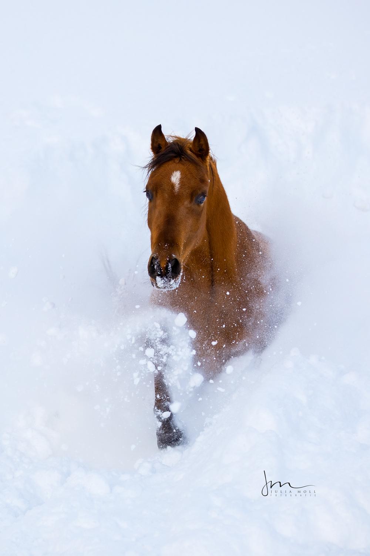 Braune Stute trabt durch den frischen Schnee