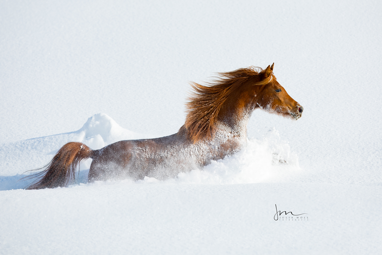 Araberstute galoppiert durch den Schnee