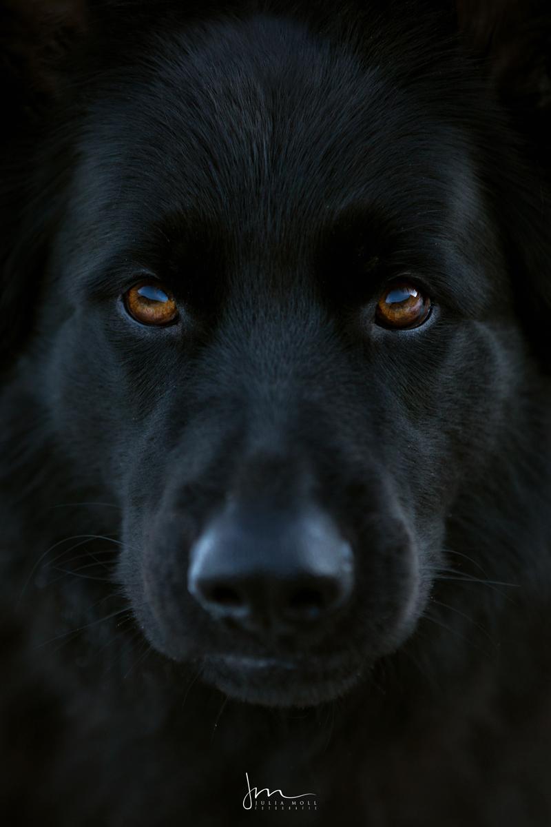 Schwarzer Schäferhund im Porträt