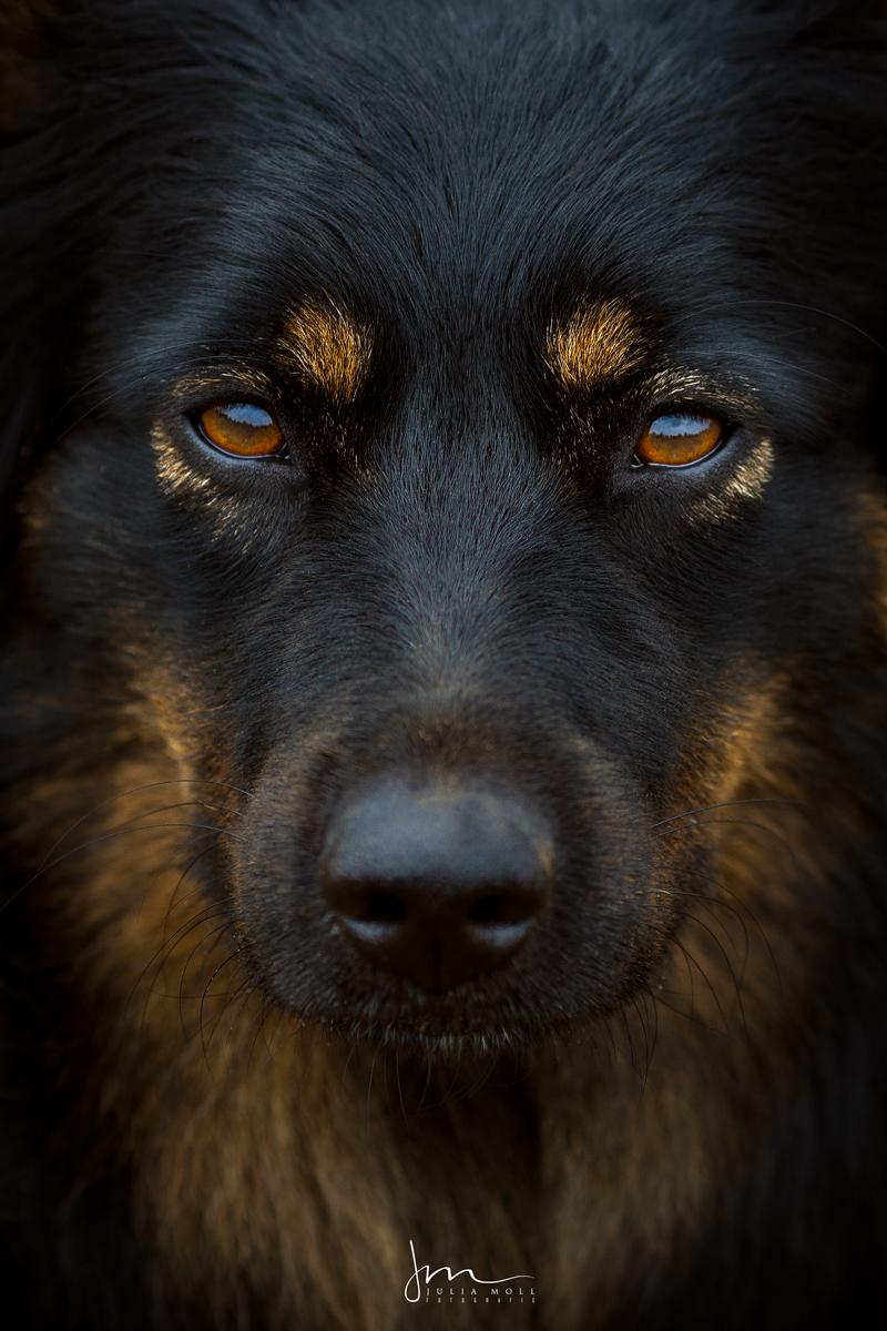 Bild von Schäferhund