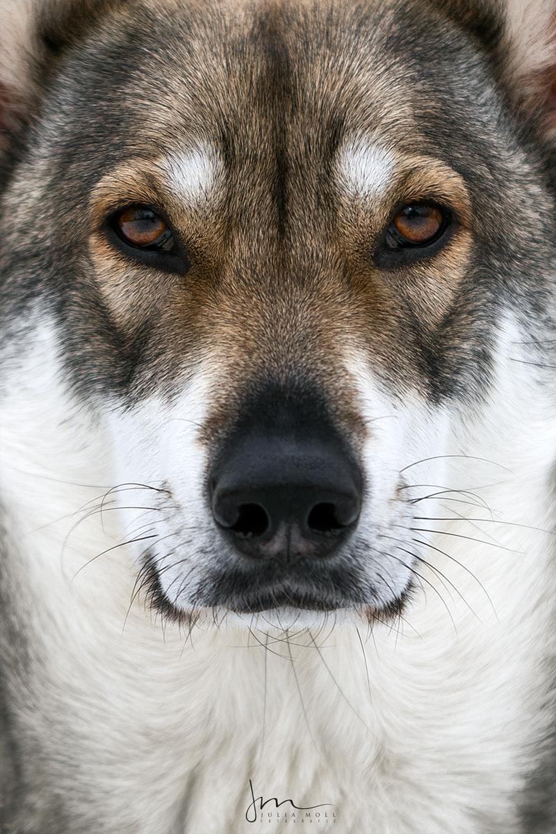 Wolfshund im Porträt
