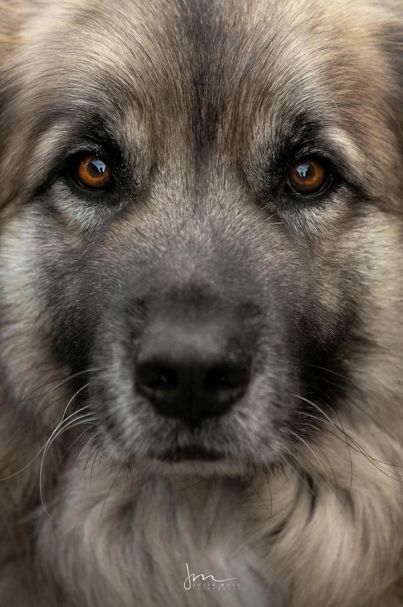 Herdenschutzhund im Porträt