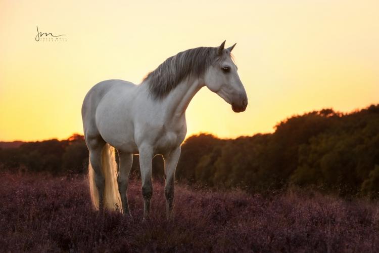Spanisches Pferd 49A0801