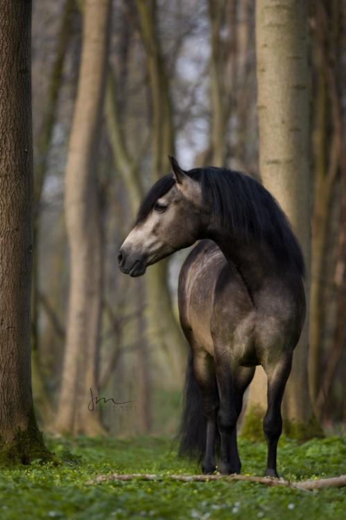 Spanisches Pferd im Wald 49A5272