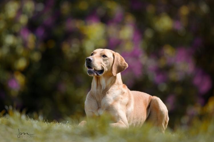 Labrador liegend auf der Wiese fotografiert