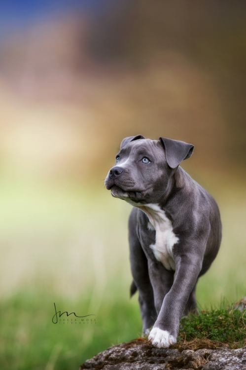 Welpenfoto von Stafford Terrier