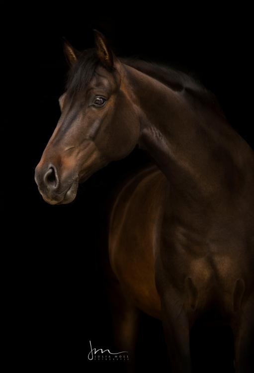 Andalusier im klassischen Porträt vor schwarzem Hintergrund