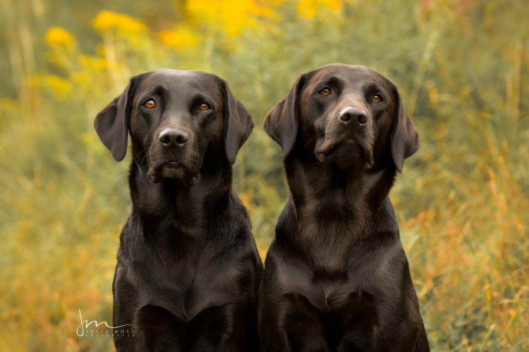Zwei Labradore die ziemlich beste Freunde sind