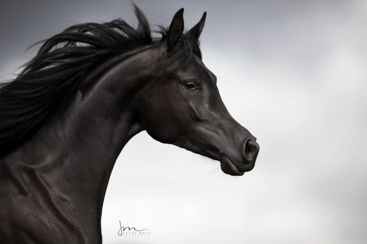 Schwarzes Pferd im bewegten Porträt bei düsterer Wolkenstimmung
