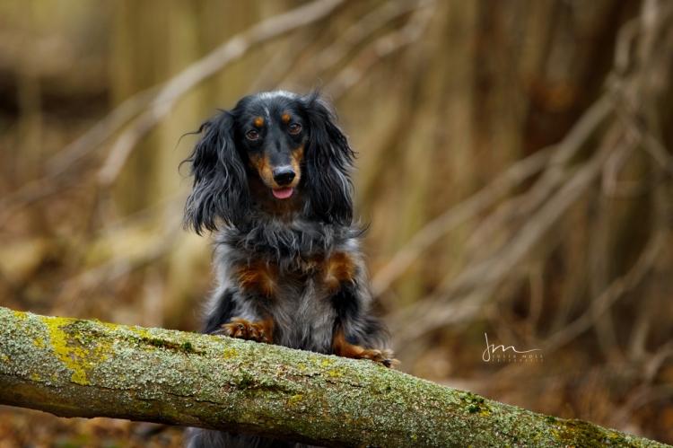 Hundefoto von Dackel