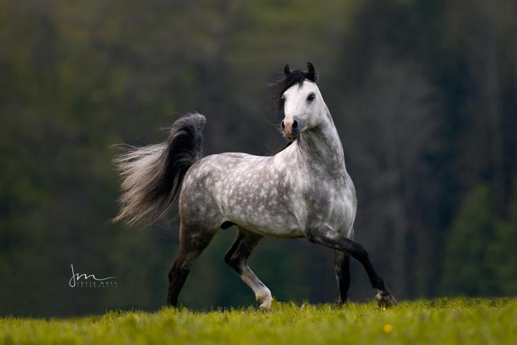 Schimmel Welsh Pony Hengst trabt entfesselt über die Wiese