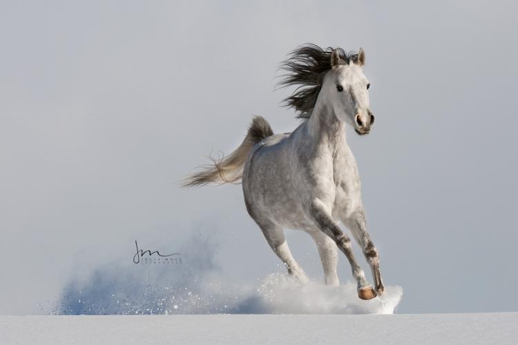 Araber galoppiert entfesselt im Schnee