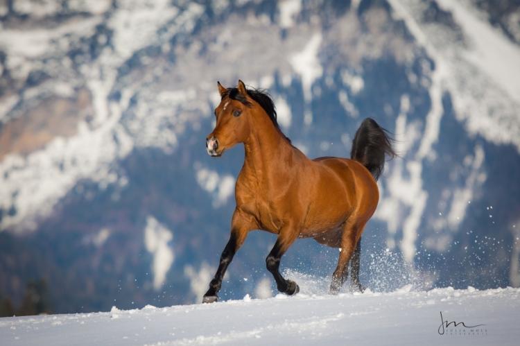 Araberhengst trabt entfesselt über den Schnee