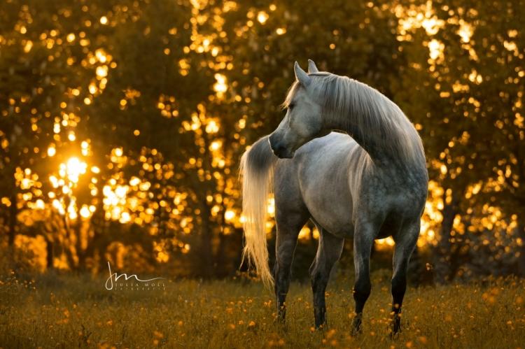 Arabisches Pferd im Sonnenaufgang V0A0453