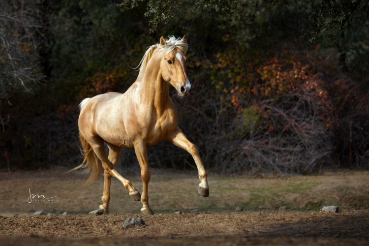 Palomino Lusitano Hengst trabt im Campo in Andalusien