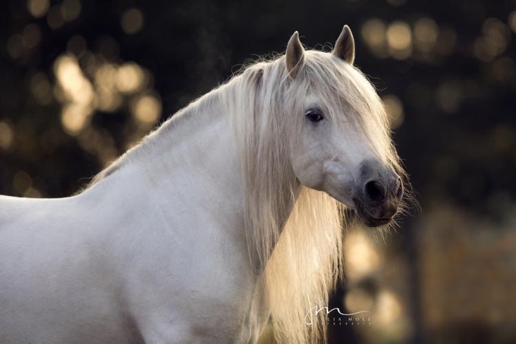 Spanisches Pferd mit kräftigem Hals und langer Mähne bei Sonnenaufgang im Porträt
