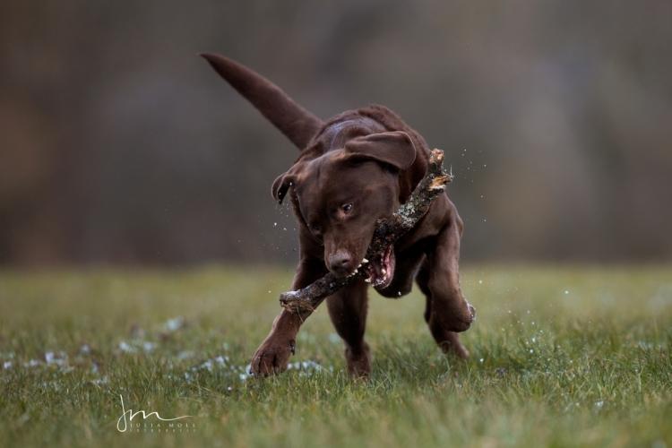 Labrador beim Spielen mit Stöckchen