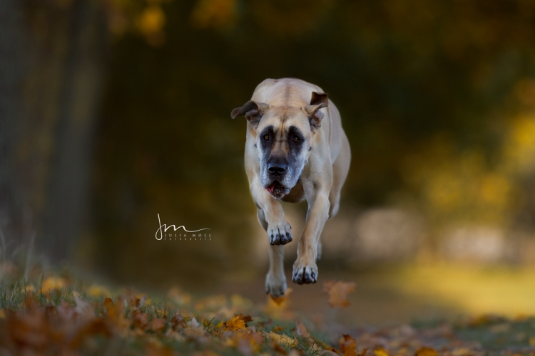 Hundefotografie mit Dogge im vollen Lauf