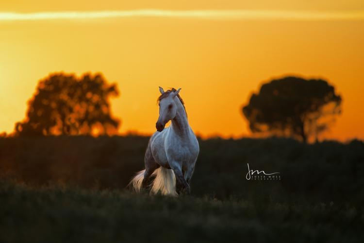Stolzes spanisches Pferd trabt im Sonnenuntergang im andalusischen Campo