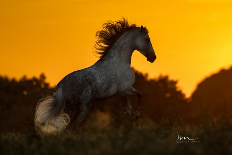 Pura Raza Española Hengst springt entfesselt im Sonnenuntergang in Andalusien