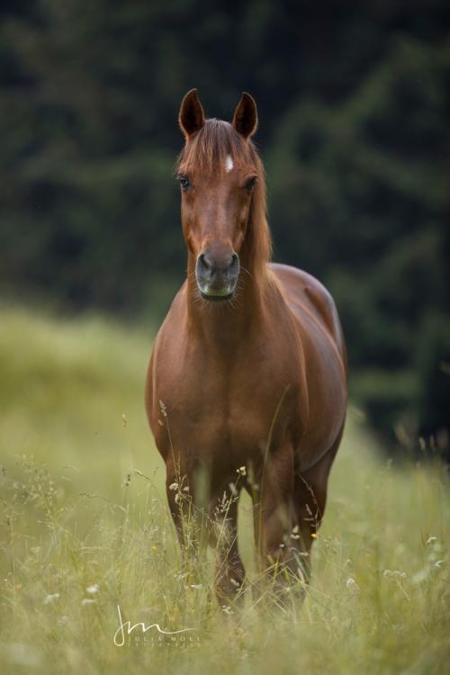Natürliches Standbild von einem arabischen Pferd auf der Weide