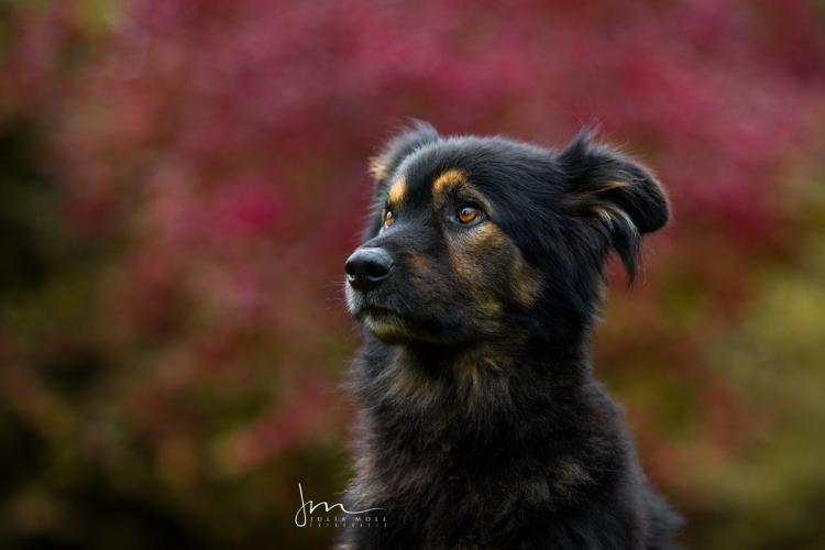 Altdeutscher Schäferhund in der Hundefotografie