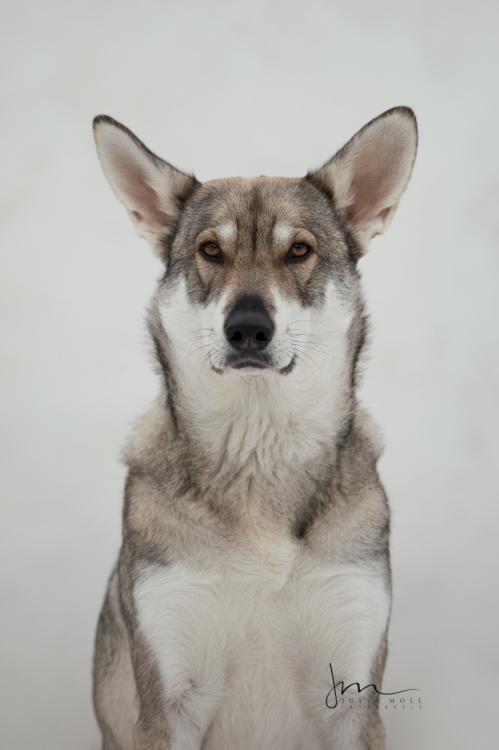 Hundefotografie mit Wolfshund im Porträt von weißer Wand