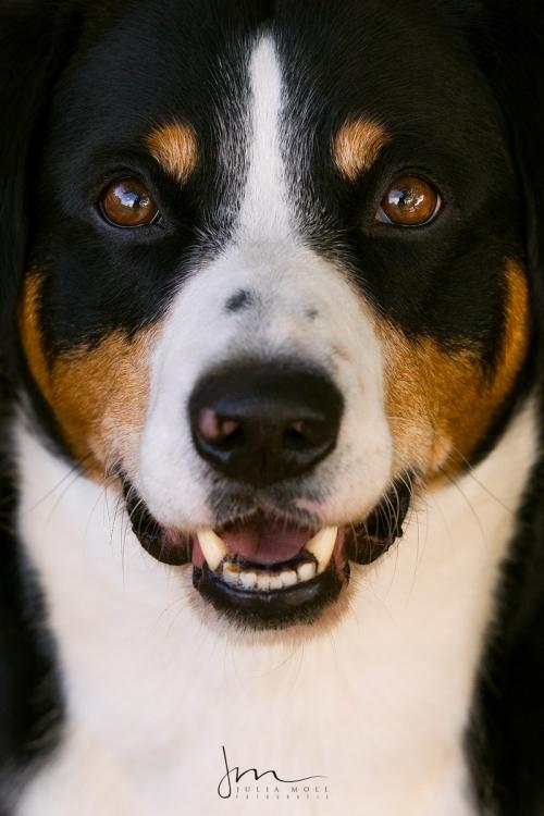 Entlebucher Sennenhund im Porträt Hundefotografie mit Rassehund