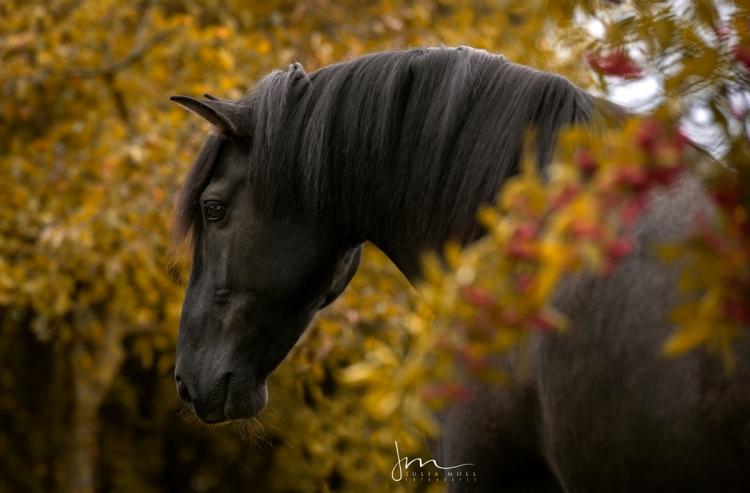 Schwarzes spanisches Pferd in einem stillen Moment hinter blühenden Sträuchern
