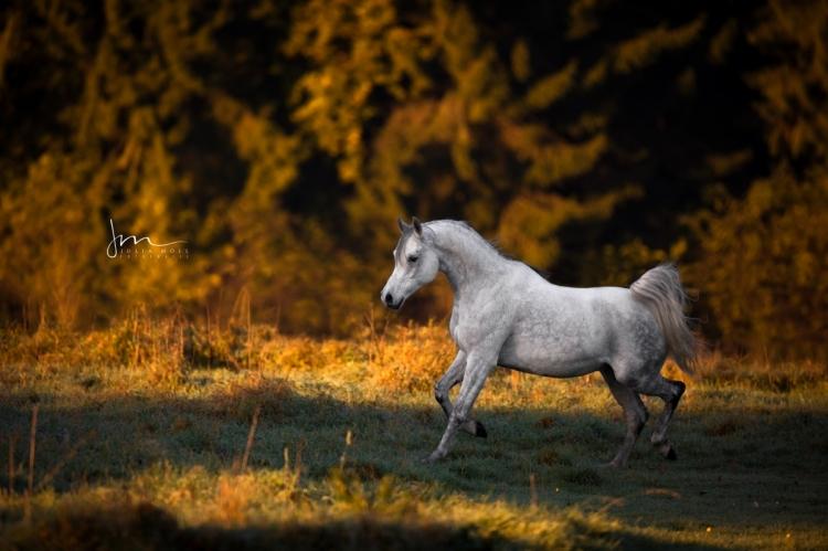 Arabisches Pferd trabt gelassen und entfesselt durch den frühen Morgen
